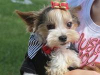 Cody is a very sweet infant doll face parti yorkie. He