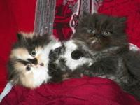 Gorgeous Persian babies ready for their forever homes!