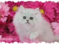Daisy is an adorable teacup Persian kitten born 7/5/13.