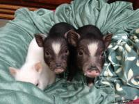 *NEW LITTER AVAILABLE NOW* WWW.OUTLAWMINIPIGS.COM OR