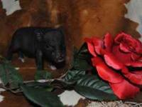 I have 2 teacup piglets ready for a deposits. They were