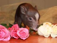 We have 2 male piglets available. They are ready for