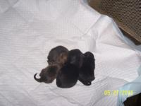 Teacup Pomeranian puppies, 2 girls 2 boys, all black in