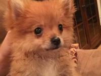 3 month old female teacup Pomeranian pup. Up to date on