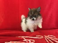 Teacup Pomeranian Puppies in search for loving homes