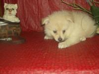 Born December 10, 2013, white Pomeranian puppies. One