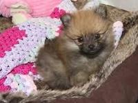 Teacup pomeranians puppies !! Male and female readily