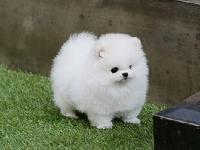 Awesome Teacup Pomeranian Puppies Available. They are