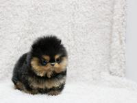 Animal Type: Dogs Breed: Pomeranian Male and Female