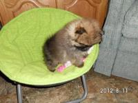 Very Tiny TeaCup pomeranian Puppy, he is 10 weeks old