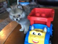 I have one female beautiful Teacup Pomeranian puppy,