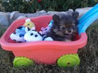 ADORABLE TEACUP POMERANIAN PUPPIES 10 WEEKS OLD Teddy