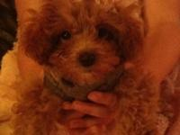 Adorable teacup poodle. She is so sweet and tiny! I