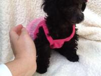 Adorable little teddybear poodle face puppy. She has