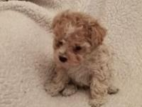 Little tiny teacup poodle, please call for information