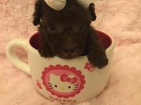 Kisses teacup poodle born May 25, 2014. She is a lovely