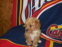 Teacup Poodle males one red and one cream . Born March