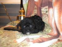 Gorgeous little teacup poodles, 3 little girls 2 with