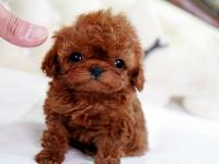 Dreamland Luxury Quality Puppies with a History of