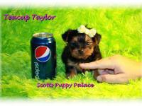 www.TeacupPuppiesStore.com young puppies for sale.