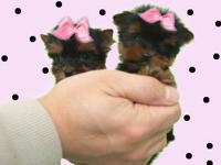 super tiny teacup puppies some of the smallest in the