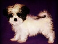 Ella is a teacup Maltese/Poodle mix young puppy. She is