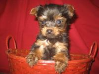 HELLO, I HAVE A TEACUP PUREBRED MALE, FEMALE YORKIE,
