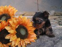 Teacup Registered Male and Female Yorkie Pup. Born