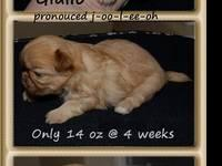 Teacup Shih Tzu Male Puppy Gavino Est Adult Weight 4 5 Lbs For