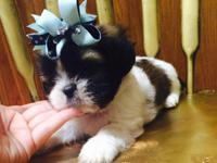 We have cute shihtzu puppies that are 8 weeks old:) The