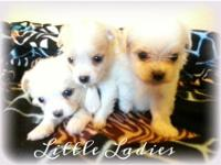 Beautiful teacup shiranian puppies will be 8 weeks old
