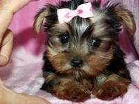 TEACUP Shorkie (Yorkshire Terrier / Shih Tzu) for