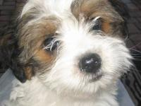 TEACUP Shorkie Puppies ( Yorkshire Terrier / Shih Tzu )