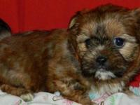 SHORKIE PUPS - These TINY cute designer breed dogs are