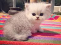 Kismet Kittens: Go to Website to Reserve. For Sale:.
