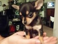 This little girl is 8weeks old. She is black and tan