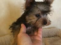 Tiny little female Yorkie with tons of spunk. She will