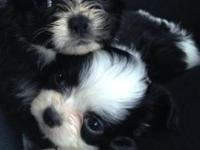 Two male maltese/shihtzu mixed puppies aka MalShi. One