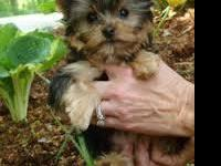 teacup sized yorkie puppies for good homes only, text
