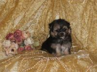 Teeny small teacup male Morkie stylish, cute, caring,