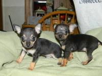 Teacup Tiny Babies, Chihuahua Purebred, Apple Head and