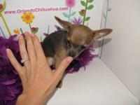 Tiny blue female chihuahua puppies born 04/07/12 and