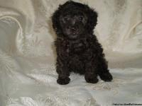 Gorgeous Teacup, Tiny Toy and Toy Poodle puppies for