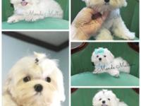 Male Maltese puppy for sale. He is very beautiful. Top