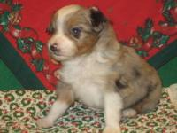 "TINY TEACUP TOY AUSSIES ""FOR SALE"" Most of the puppies"