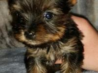 I have 1 male Yorkie young puppy left. He will be