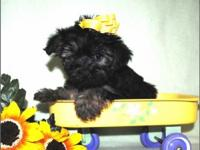 Merely the most adorable Teacup & & Toy Morkie puppies