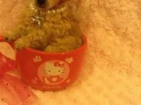 Valuable is a lovely teacup toy poodle. She has a small