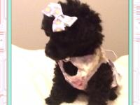 Stunning little teacup poodle. She has pretty little