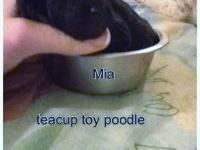 MIA is a stunning teacup poodle. She was born at just